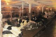 Коровы хороши, помещение – так себе