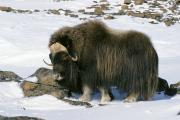Овцебыка, который забрел в окрестности Усть-Кары,  подкармливали местные жители