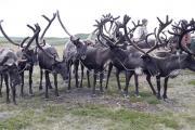 Россия лидирует в мире по количеству домашних оленей / Фото автора