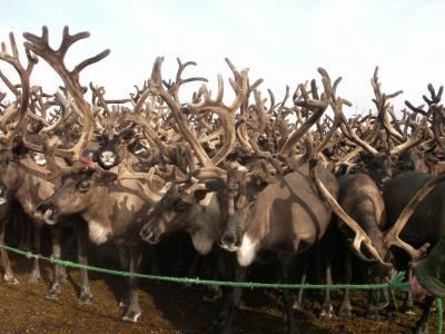 Оленеводы округа теряют из-за браконьеров сотни оленей
