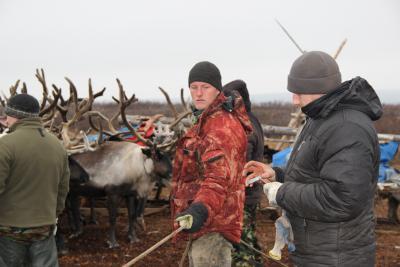 Ветеринары работают в тундре наравне с оленеводами