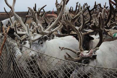 Браконьеры убили 11 оленей