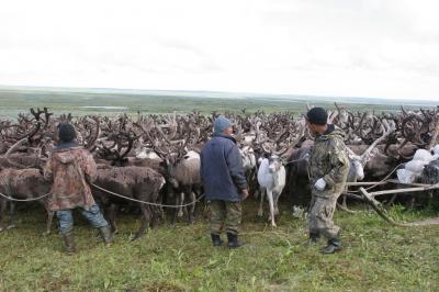 Шкуры оленей из Ненецкого округа стали перерабатывать в Финляндии