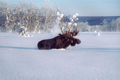 В снежную зиму лосиные тропы сложно не заметить