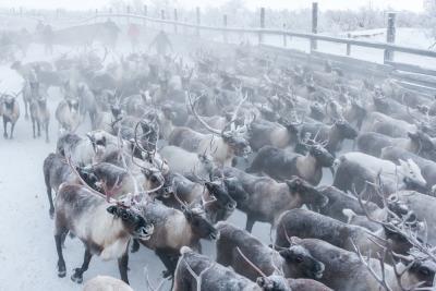 У Финляндии есть интерес к оленине  из заполярного региона / Фото Антона Тайбарея