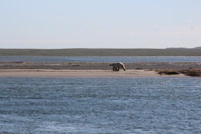 Медведями жителей Амдермы не удивишь / Фото Сергея Уварова